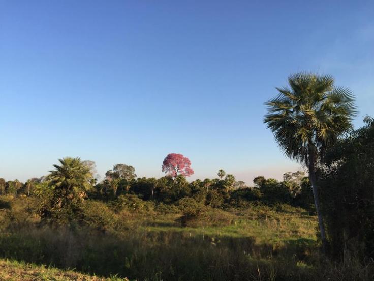 Arbre Pantanal.jpg