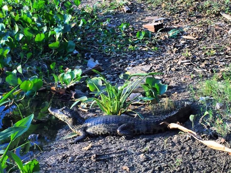 bebe crocodile.jpg